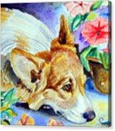 Petunias - Pembroke Welsh Corgi Acrylic Print by Lyn Cook