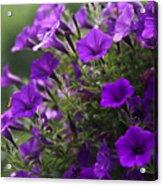 Petunias 2 Acrylic Print
