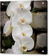 Phalaenopsis Brother White Windian Acrylic Print