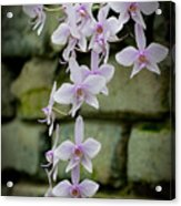 Phalaenopsis Orchid 2 Acrylic Print