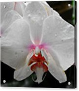Phalaenopsis Orchid With Blush Center Acrylic Print