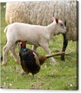 Pheasant And Lamb Acrylic Print