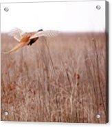 Pheasant In Flight Acrylic Print by Gabriela Insuratelu