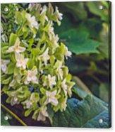 Philipsburg Manor - White Blossom Acrylic Print