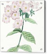 Phlox Acuminata Acrylic Print