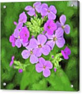Phlox For You Acrylic Print