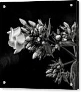 Phlox In Black And White Acrylic Print