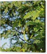 Photo Of Indian Tree Acrylic Print