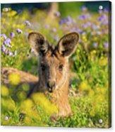 Photogenic Kangaroo Acrylic Print
