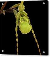 Phragmipedium Richteri Orchid Acrylic Print