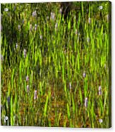 Pickerelweed Acrylic Print