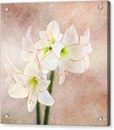 Picotee Amaryllis Acrylic Print