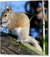 Picture Perfect Squirrel Acrylic Print