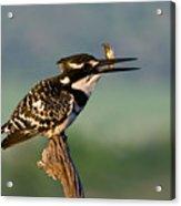 Pied Kingfisher Acrylic Print