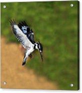 Pied Kingfisher Acrylic Print by Tony Beck