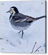 Pied Wagtail In The Snow Acrylic Print