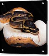Piedbald Ball Python Acrylic Print