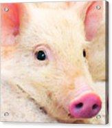 Pig Art - Pretty In Pink Acrylic Print
