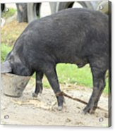 Pig Eating From A Bucket Acrylic Print