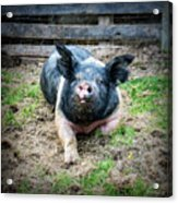 Pig Out Acrylic Print