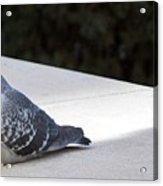 Pigeon 0593 Acrylic Print