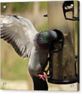 Pigeon And Feeder Wings Spread Acrylic Print