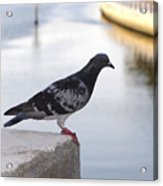 Pigeon By The River Acrylic Print