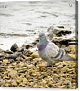 Pigeon Close To The River Acrylic Print