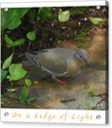 Pigeon Poster Acrylic Print
