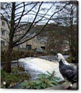 Pigeon Watch Acrylic Print