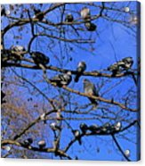 Pigeons Perching In A Tree Together Acrylic Print