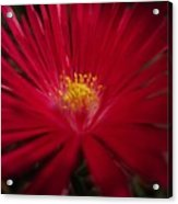 Pigface Flower Acrylic Print