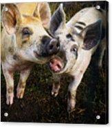 Piggy Love Acrylic Print