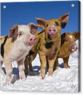 Piglets In Snow Acrylic Print