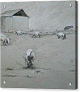 Pigs And Barn Acrylic Print
