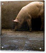 Pigs At A Hog Farm In Kansas Acrylic Print