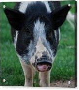 Pigs Ears Acrylic Print