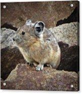 Pika - Weminuche Wilderness - Colorado Acrylic Print