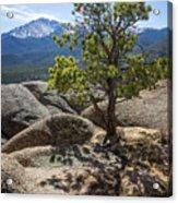 Pikes Peak Bristlecone Acrylic Print