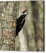 Pileated About To Take Flight Acrylic Print