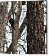 Pileated Billed Woodpecker Acrylic Print