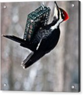 Pileated Billed Woodpecker Feeding 1 Acrylic Print