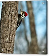 Pileated Billed Woodpecker Pecking 2 Acrylic Print