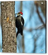 Pileated Billed Woodpecker Pecking 3 Acrylic Print