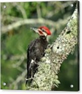 Pileated Perch Acrylic Print