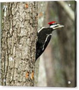 Pileated Searching - Looking Acrylic Print