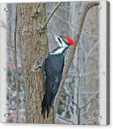 Pileated Woodpecker - Dryocopus Pileatus Acrylic Print