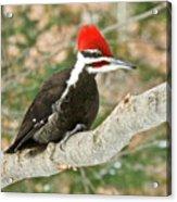 Pileated Woodpecker 6073 Acrylic Print