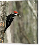 Pileated Woodpecker Looking For A Perspective Mate Acrylic Print