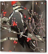Pileated Woodpecker Lunch Acrylic Print